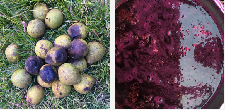 a photo of black walnuts on grass and a pot of pokeberry dye