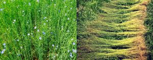 A composite of a photograph of flax in flower and flax retting in the field