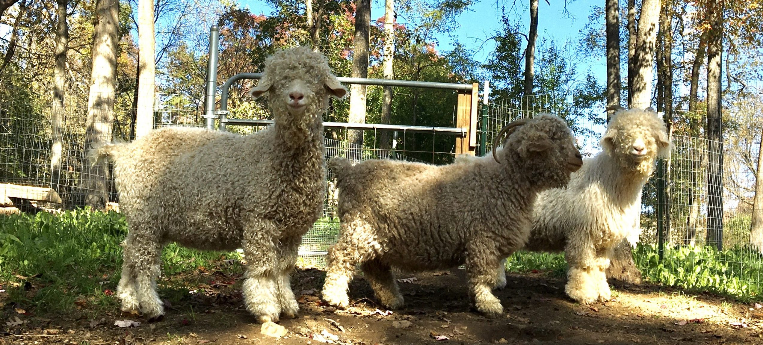 Three angora goats hanging out in the shade of trees