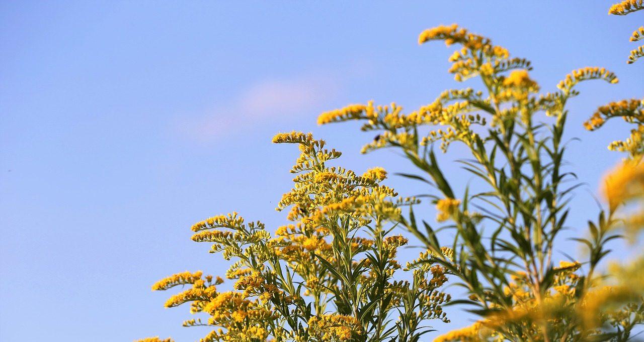 Sprays of goldenrod flowers on a background of blue sky